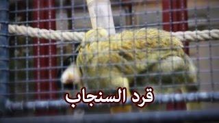 حيوانات - قرد السنجاب