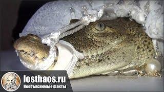 Дикие традиции или Каково это, когда невеста – крокодил