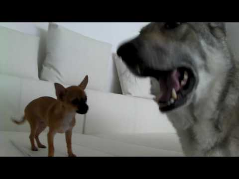 Chihuahua and Saarloos Wolfhond playing