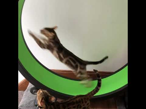 Super fast bengal cat on his one fast cat wheel