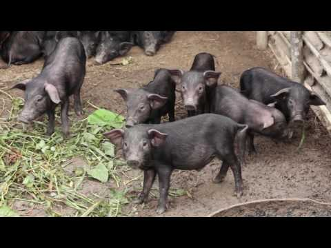 BAR - UPLB OA Projects on  Native Swine
