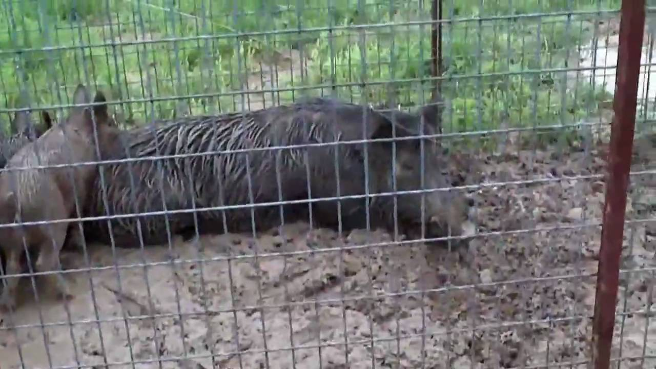 Wild Boar Hunting Texas Part 3 Hogs Trapped Youtube