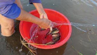 Miền tây | thả lưới bắt cá bắt trên đồng ruộng mùa lũ đơn giản lắm | cá rô đầu mùa | fishing