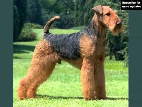 lovely pictures of dog terrier airedale picture ideas of dog
