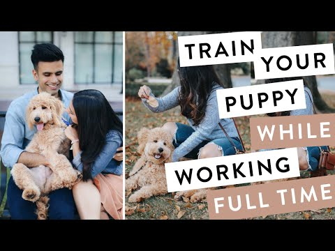 How to Train a Puppy While Working Full Time   QUICK Training Mini Goldendoodle F1B