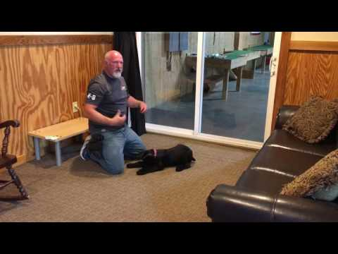 """Giant Schnauzer Puppy """"Kinsey"""" 15 Wks Early Obedience Training W/Protection Dog Sales"""