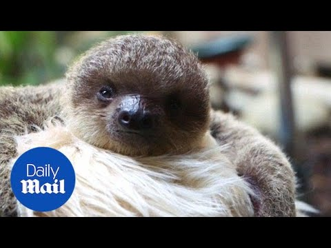 Watch adorable baby sloth eat meal at the London zoo - Daily Mail