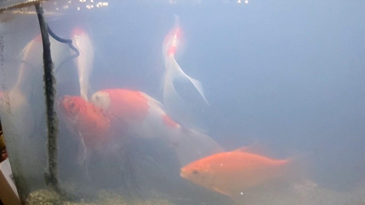 金魚の白濁り、雄金魚の発情が要因かも。 - YouTube