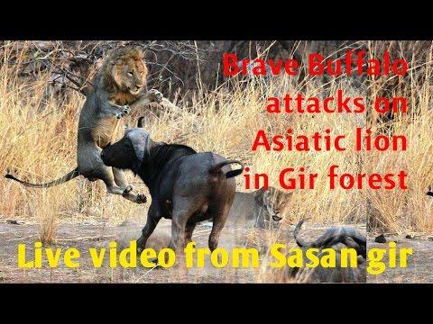 एक बहादुर भेसे ने किया शेर पर हमला Brave Buffalo attacks on Asiatic lion in Gir National Park