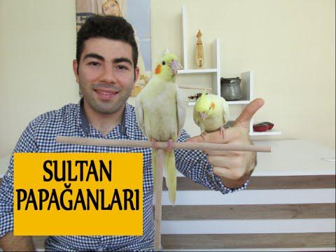 Sultan Papağanlarının Bakımı ve Cinsiyet Ayrımı