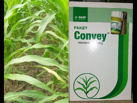 Herbisida Convey ,cara meracik dan aplikasi pada tanaman jagung