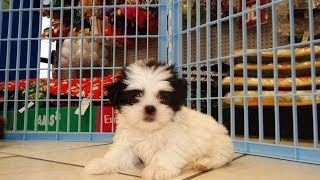 Shih Tzu, Puppies For Sale, In, Lubbock, Texas, Tx, Waco, County, Garland, Irving