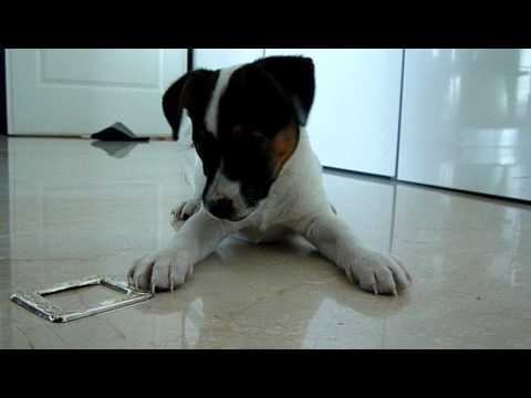 """jack-russell-""""amilcare""""-puppy-playing-with-his-fictional-toy"""