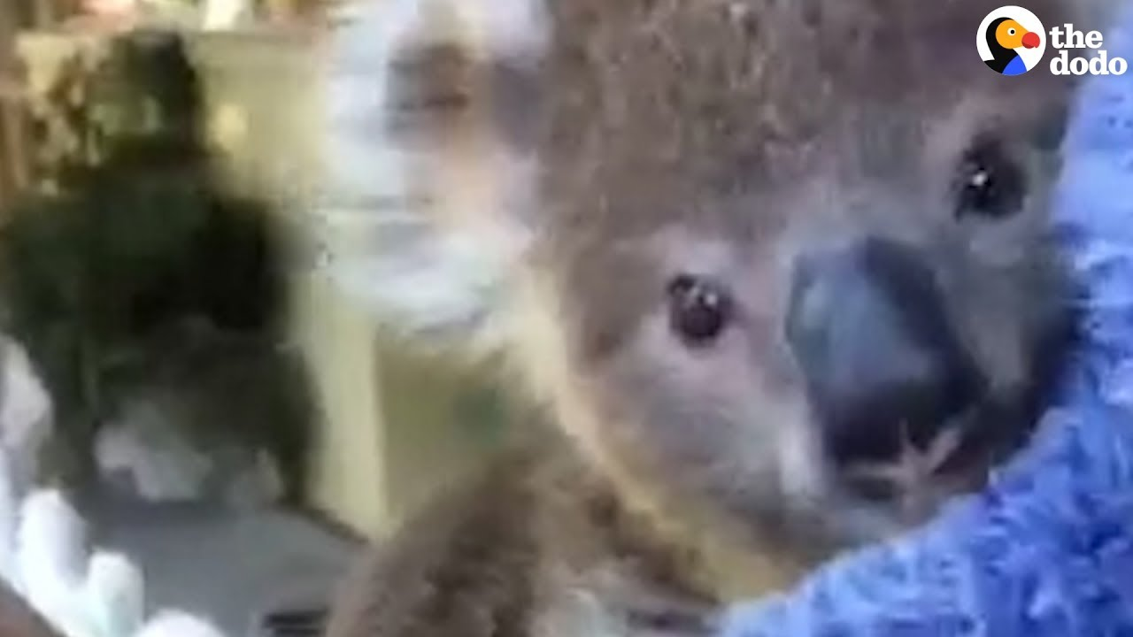 Baby Koala Gets Ready To Go Home | The Dodo