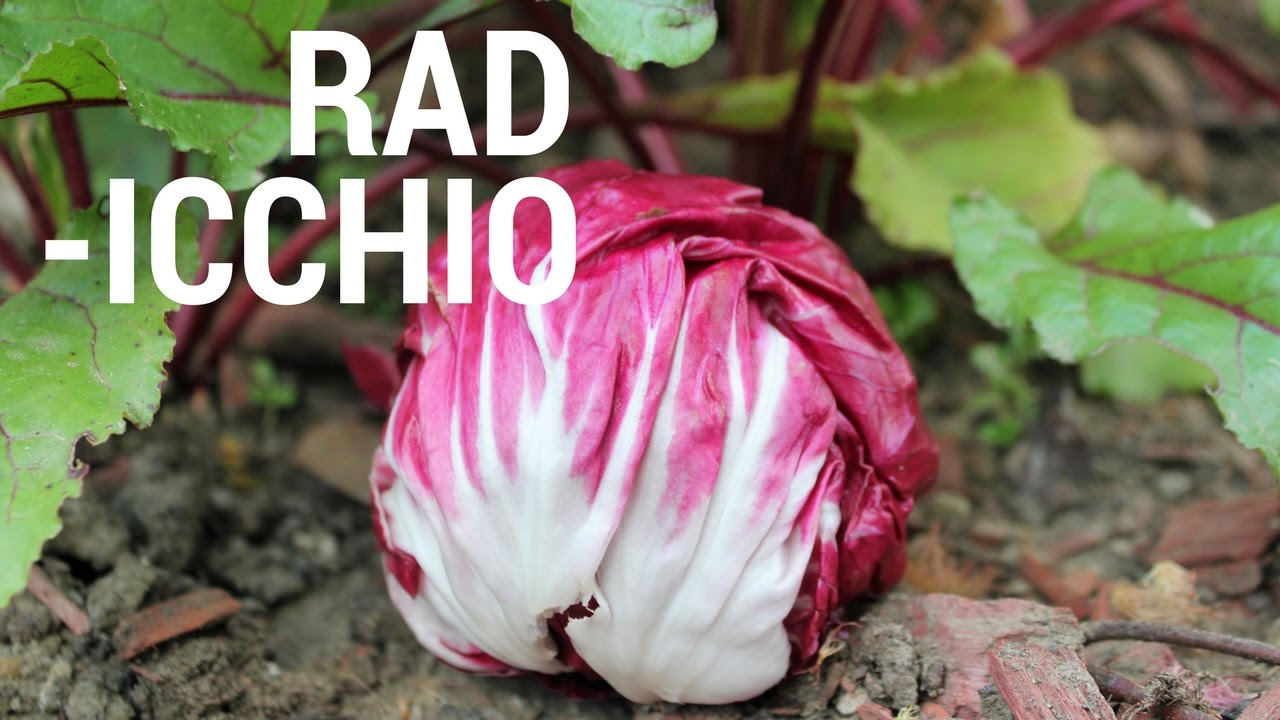 Watch 8 Amazing Benefits Of Radicchio – The New Italian Superfood video