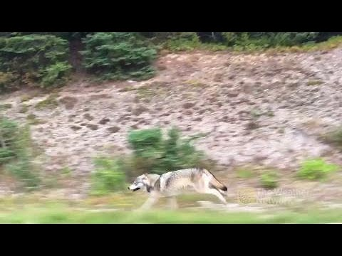 Grey wolf runs right beside B.C. family's car driving down highway