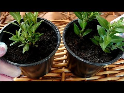 САМШИТ.Размножение черенками. Работаем только в перчаткахЯДОВИТОЕ растение!