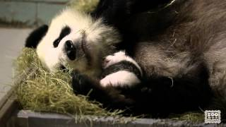 Giant Panda Cubs, 5 weeks old