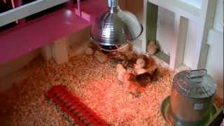 How to raise baby chickens/chicks. Living off the land.
