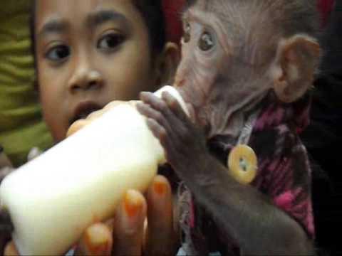 Monyet Lucu ini Suka Sekali Minum Susi sapi