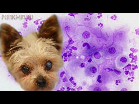 Как лечить вагинит у собак