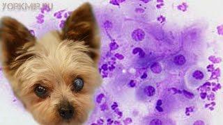 Вагинит у собак | Признаки | Симптомы | Лечение.