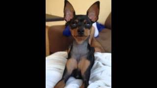 Funny Mini Pinscher Falling Asleep