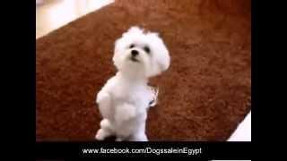 تدريب كلاب (لولو-جريفون)