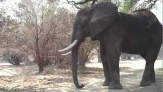 Having A Moment With JD, Gentle Large Elephant Bull- Mana Pools, Zimbabwe, Africa