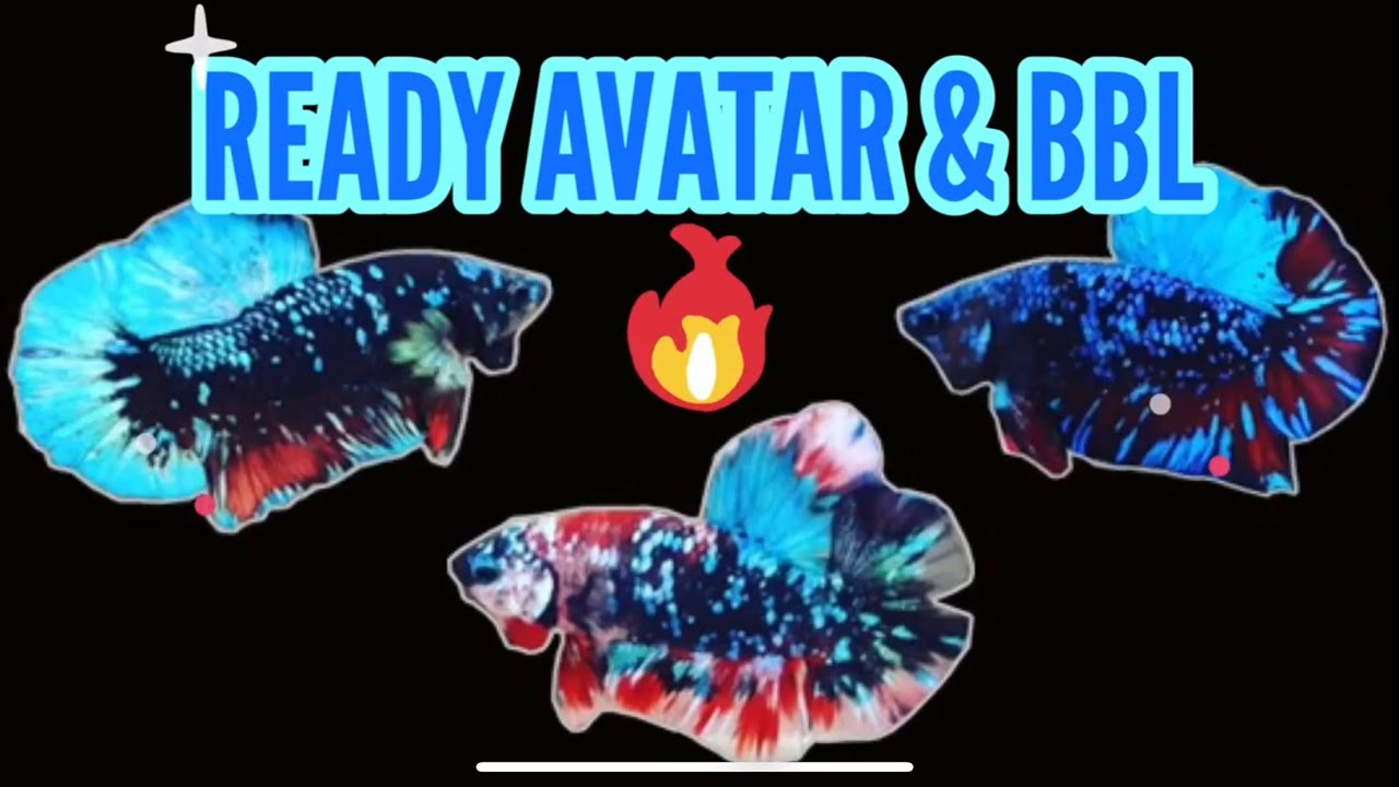 Panen Ikan Cupang Avatar Bbl Youtube