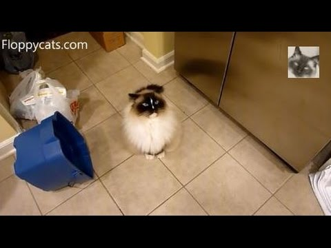 Ragdoll Cat Charlie Meows for Greenies Cat Treats - ねこ - ラグドール - Floppycats