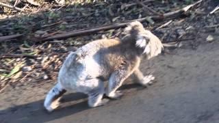 Sea Zen Australia Great Ocean Road koala walking