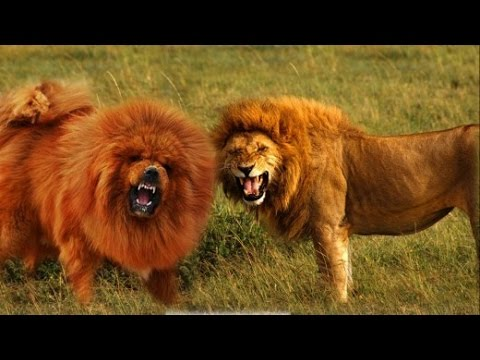 Tibetan Mastiff VS Lion FACTS