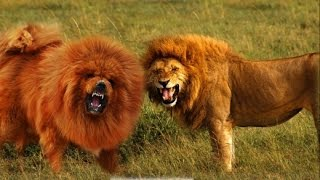 Tibetan Mastiff VS Lion FACTS