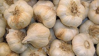 comment planter de l ail au potager