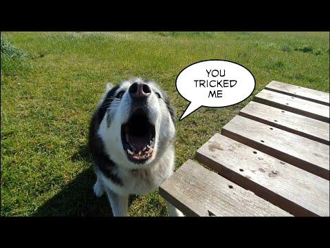 Invisible door knocking dog Prank | Hilarious Reaction