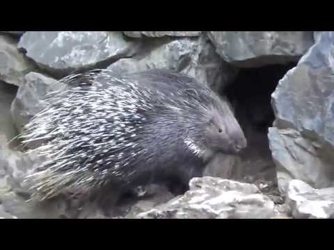 Indian Crested Porcupine (Hystrix indica) Prague Zoo דרבן מצוי