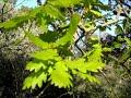 35 - Les feuilles de chêne - 08/05/2016