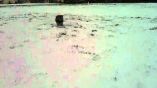 Big Snow - Miniature Schnauzer