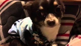 小型犬を家の中で飼ってる人にはわかると思いますが犬は家のあちこちでm...