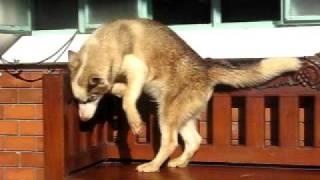 male siberian husky  4 mons