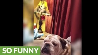 Bulldog has hysterical reaction to anything Christmas
