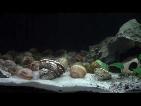 Lamprologus multifasciatus & Julidichromis marlieri in new 40 gal