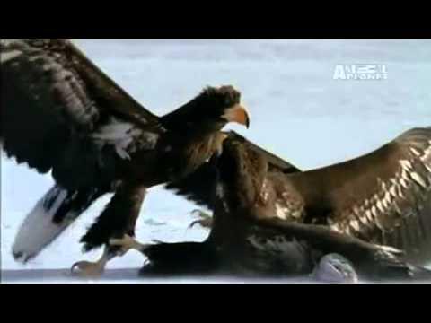 Đại bàng quyết chiến đến chết để dành mồi