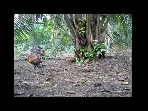 Ayam Hutan Pikat Betina 49