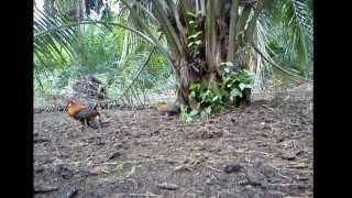 Video Ayam Hutan Pikat Betina 49 download MP3, 3GP, MP4, WEBM, AVI, FLV Juni 2018