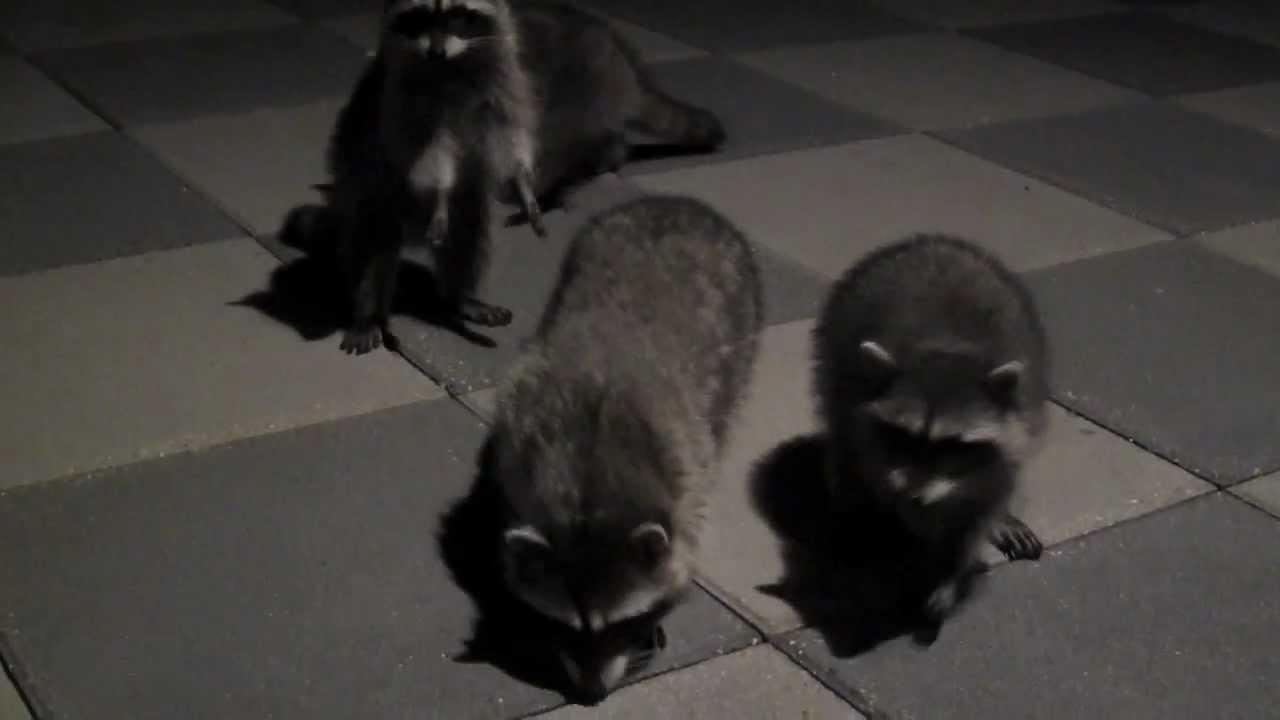 baby raccoons sounds youtube