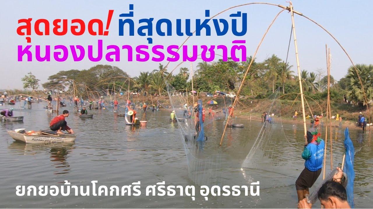 ที่สุดแห่งปีสุดยอดหนองปลาธรรมชาติ ยกยอโคกศรี-ศรีเจริญ Catch fish with startles and nets.