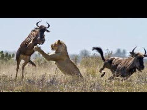 Documentaire Sur Les Lion Chasseur De Gnou (SAVANE) thumbnail