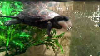 Домашние болотные черепахи,  кормим мясом.